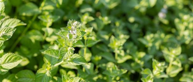 Kwiaty melisy na zewnątrz. krzew świeżej zielonej mięty w ogrodzie. liście melisy w dzikiej przyrodzie
