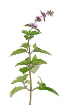 Kwiaty mięty pieprzowej na białym tle. oddział mięty. medycyna ziołowa.