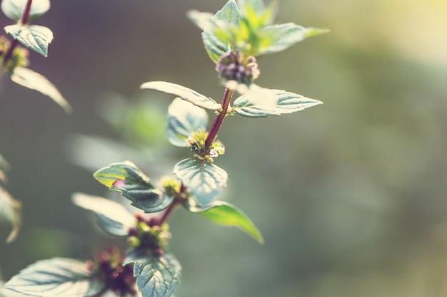 Kwiaty mięty