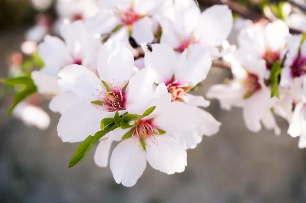 Kwiaty migdałowca kwitną wiosną w hiszpanii.