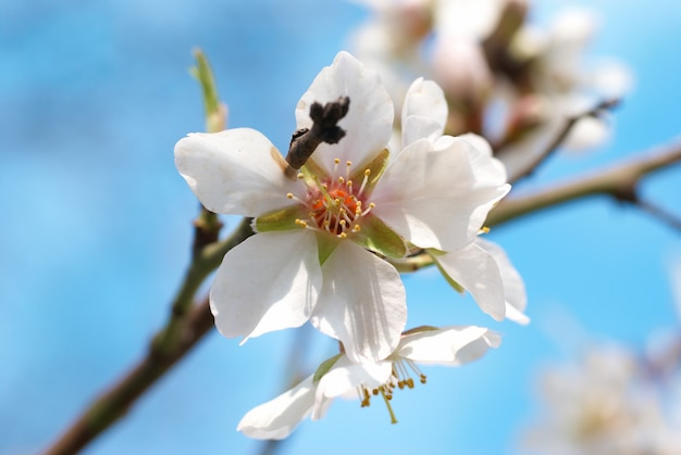 Kwiaty migdałowo-białe o miękkiej powierzchni
