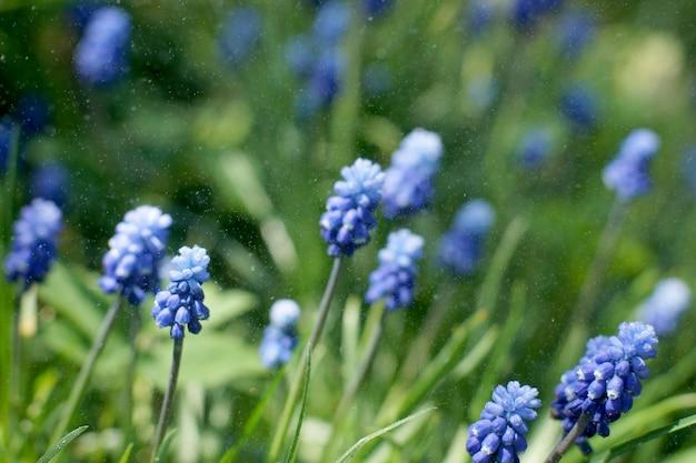 Kwiaty miscuri nawadniane są mżawką na tle zielonego trawnika.