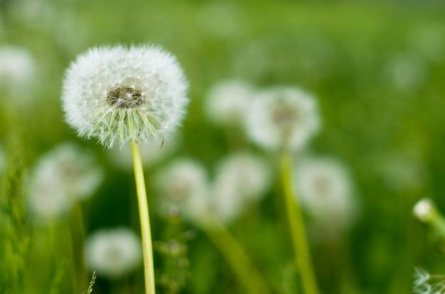 Kwiaty Mniszka Lekarskiego Premium Zdjęcia
