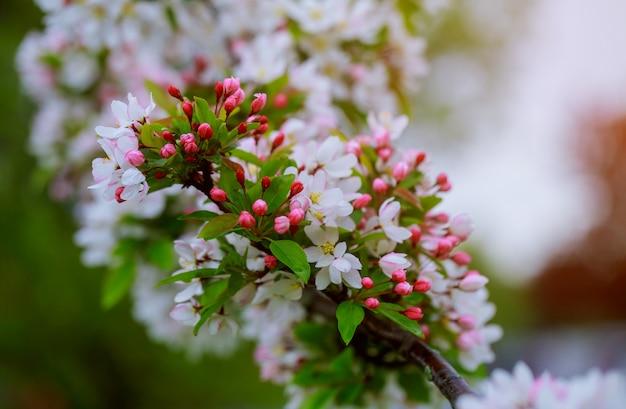 Kwiaty na gałąź w wiośnie, jabłoń.