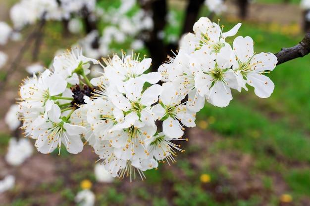 Kwiaty na gałęzi drzewa owocowego śliwki