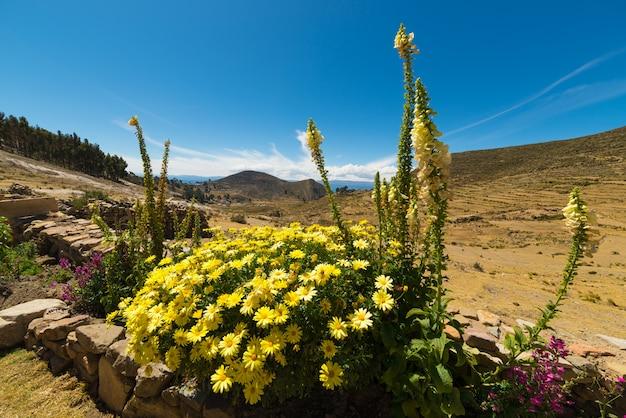 Kwiaty na wyspie słońca, jeziorze titicaca, boliwia