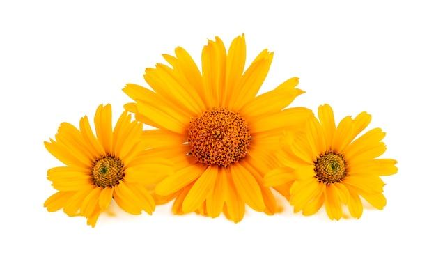 Kwiaty nagietka na białym tle. kwiat nagietka. lecznicza roślina ziołowa.