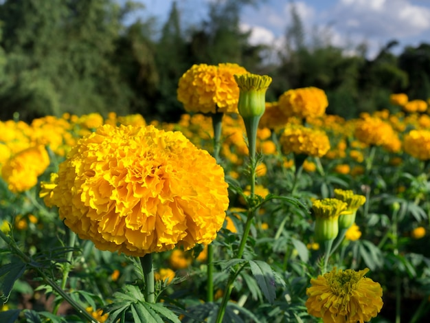 Kwiaty nagietka na łące w słońcu z krajobrazem przyrody