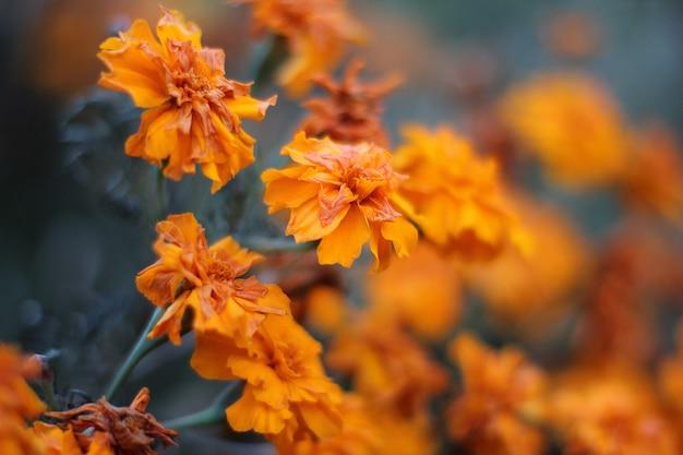 Kwiaty nagietka w ogrodzie z bliska
