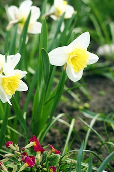 Kwiaty narcyzów