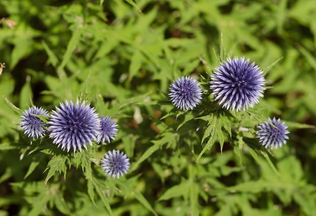 Kwiaty niebieskie echinops w kształcie kuli