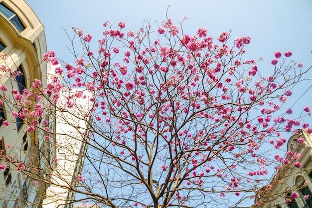 Kwiaty o fioletowym ipe, z pięknym błękitnym niebem
