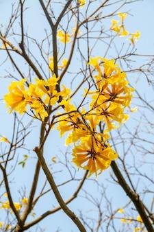 Kwiaty o żółtym ipe, z pięknym błękitnym niebem