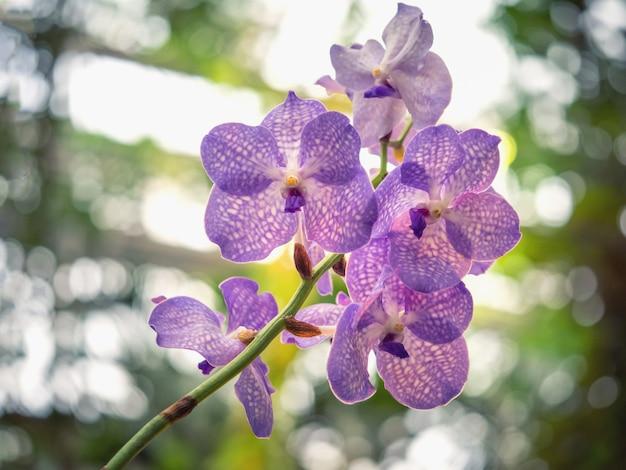 Kwiaty orchid blue vanda. kwitnące storczyki kwitnące