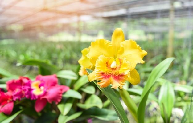 Kwiaty orchidei cattleya