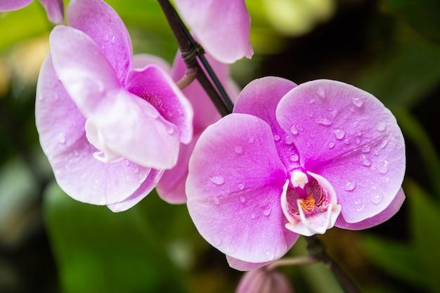Kwiaty orchidei w ogrodzie. phalaenopsis orchidaceae