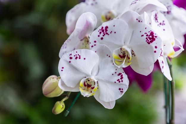 Kwiaty orchidei w ogrodzie. phalaenopsis orchidaceae.