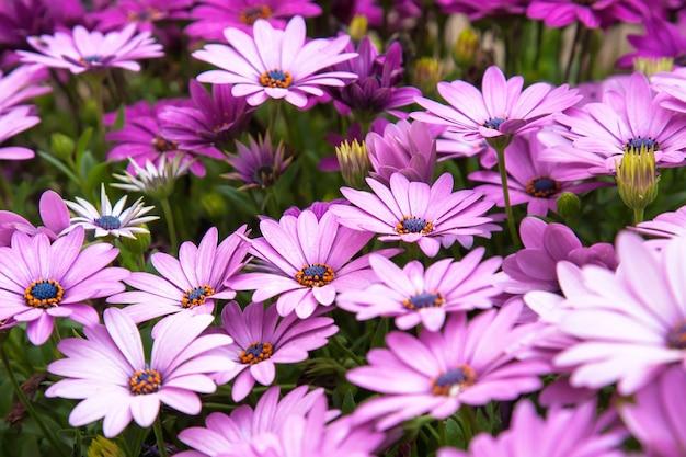 Kwiaty osteospermum, kwietnik, rośliny, fioletowe, różowe, rumianek, stokrotki