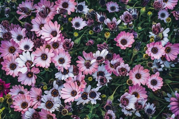 Kwiaty osteospermum 'soprano purple' powszechnie znanej jako african daisy lub cape daisy