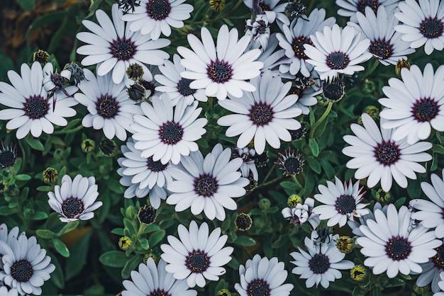 Kwiaty osteospermum 'soprano white' powszechnie znanej jako african daisy lub cape daisy