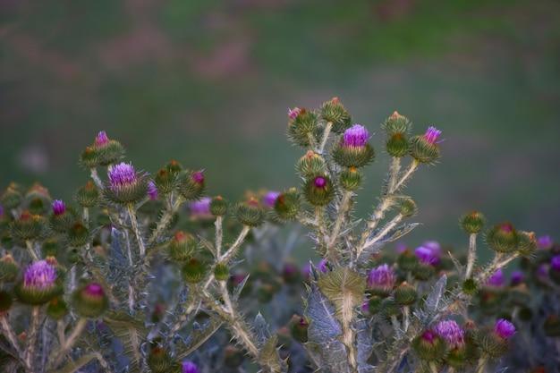 Kwiaty ostu z ostrymi cierniami na dole ramki w rzędzie. w tle rozmyte pole