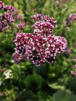 Kwiaty pachnącego oregano w ogrodzie, roślina miodowa wabiąca pszczoły
