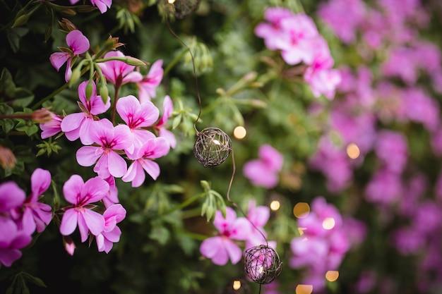 Kwiaty pelargonii na zewnątrz