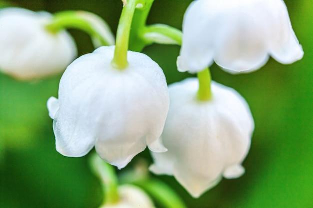Kwiaty pięknie pachną konwalią lub majonezem w łagodnym słońcu