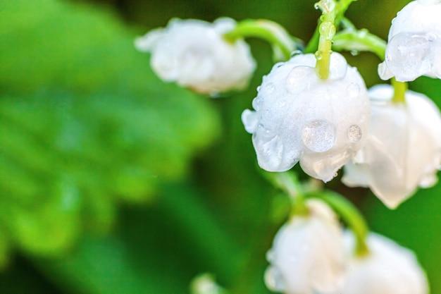 Kwiaty pięknie pachną konwalią lub majonezem z kroplami po deszczu