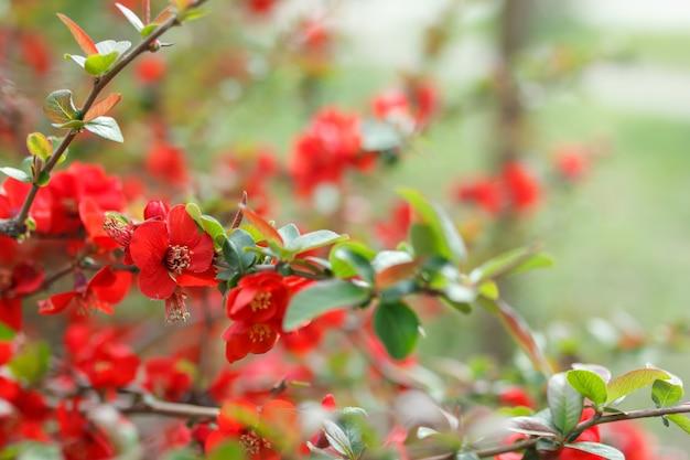 Kwiaty pigwy japońskiej