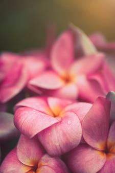 Kwiaty plumeria delikatny kolor.