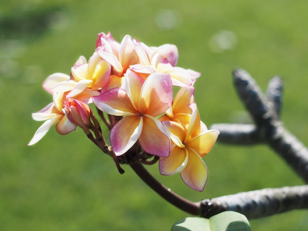 Kwiaty plumeria lub frangipani