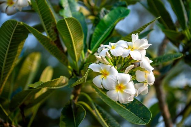 Kwiaty plumeria to pachnące i piękne kwiaty kwitnące rano