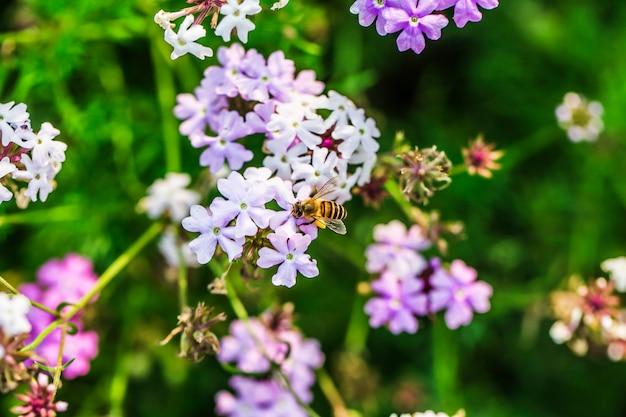 Kwiaty polemoniaceae na tle, lekko rozmyte pszczoły