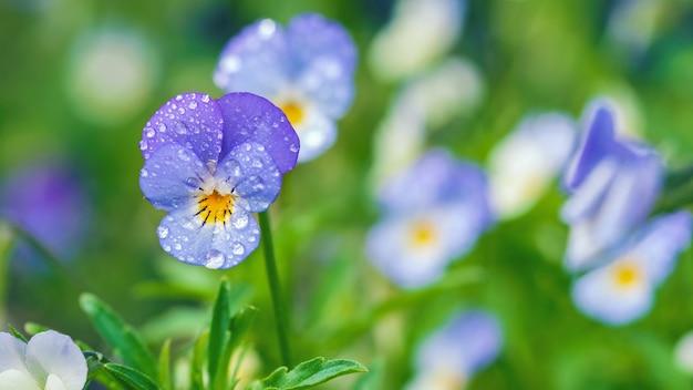 Kwiaty polne bratki w kroplach rosy, dzikie fioletowe zbliżenie