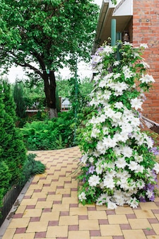 Kwiaty powojników całkowicie pokrywające ogrodzenie w przydomowym ogrodzie.