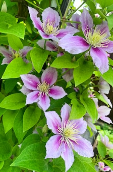 Kwiaty powojników ogrodowych na zielonym buszu. zdjęcie studyjne.
