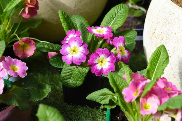 Kwiaty primula acaulis fruelo rose