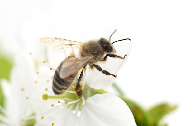 Kwiaty pszczoły miodnej i białej wiśni