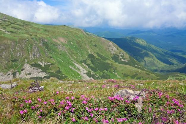 Kwiaty rododendronów i drut kolczasty w miejscu operacji i wojny światowej na letnim zboczu góry (ukraina, karpaty)