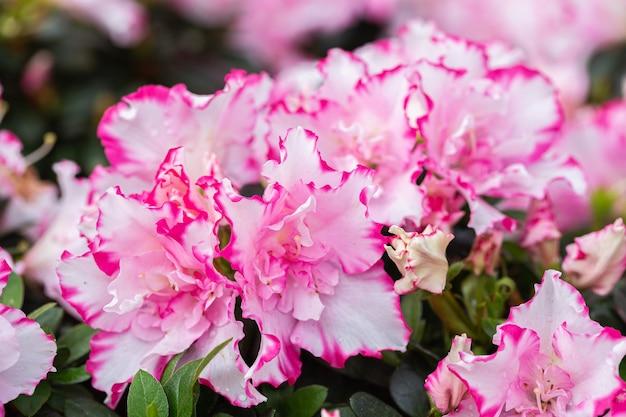 Kwiaty rododendronów w ogrodzie w wiosenny dzień