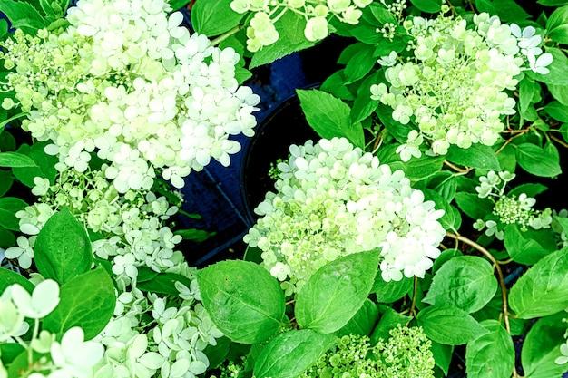 Kwiaty rośliny hortensja paniculata z bliska