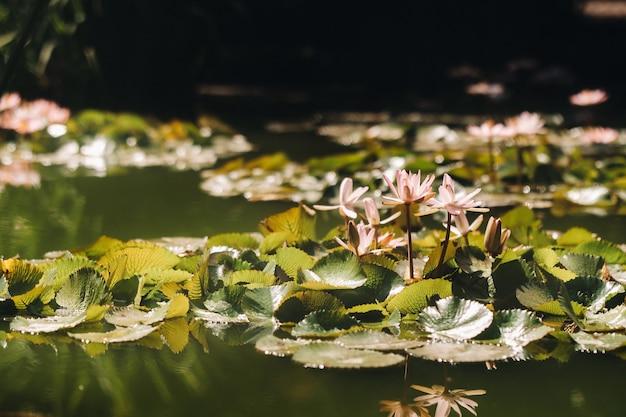 Kwiaty rosnące na wodzie w ogrodzie botanicznym w puerto de la cruz, teneryfa, hiszpania.