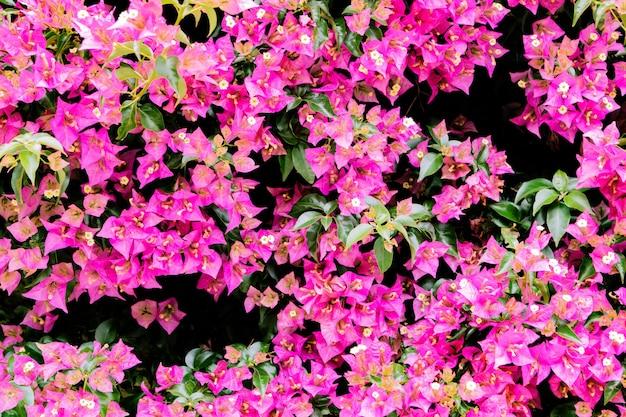 Kwiaty rosnące w ogrodzie, zbliżenie. piękna naturalna tapeta kwitnącego krzewu z bugenwillamiville