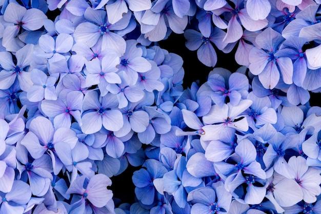 Kwiaty rosnące w ogrodzie, zbliżenie. piękna naturalna tapeta kwitnącego krzewu z hortensją