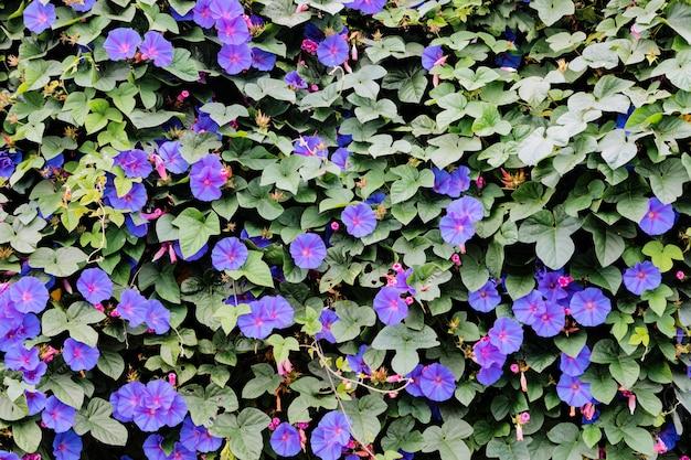 Kwiaty rosnące w ogrodzie, zbliżenie. piękna naturalna tapeta kwitnącego krzewu z pnącą rośliną