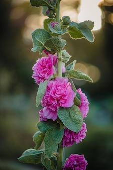 Kwiaty różowo-płatkowe