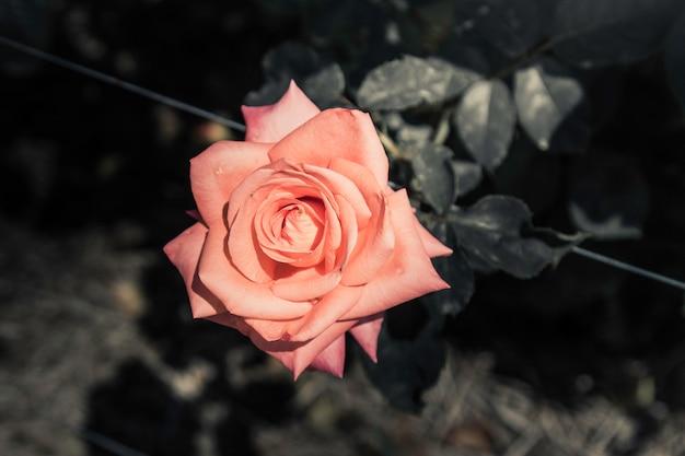 Kwiaty róży w naturalnych ciemnych odcieniach.