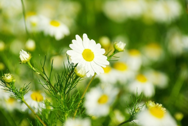 Kwiaty rumianku na polu
