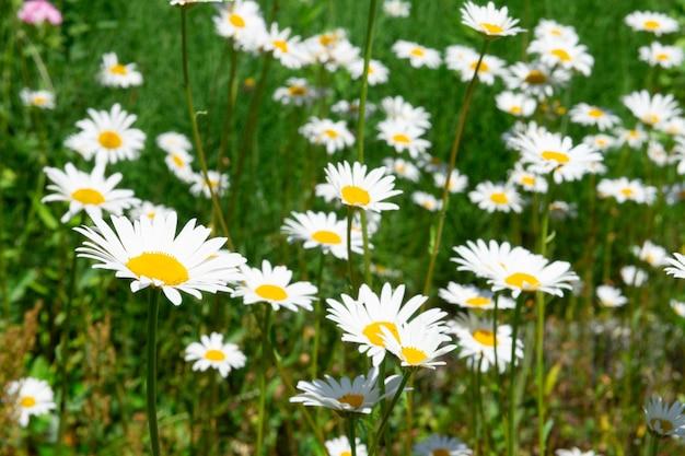 Kwiaty rumianku rosną na dzikiej letniej łące